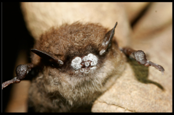 white nose syndrome